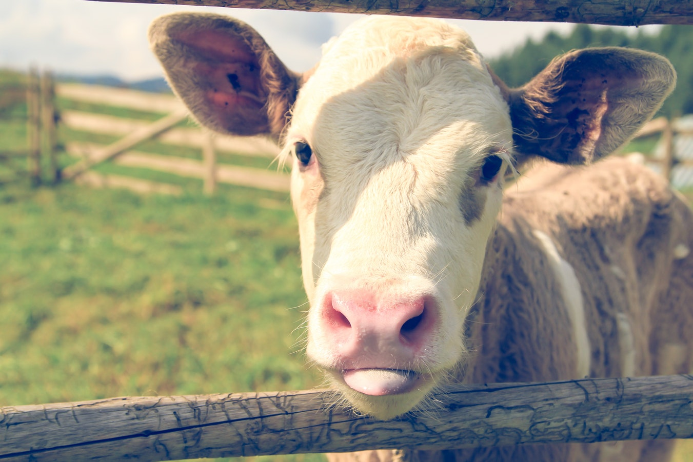 Image of a cute cow.