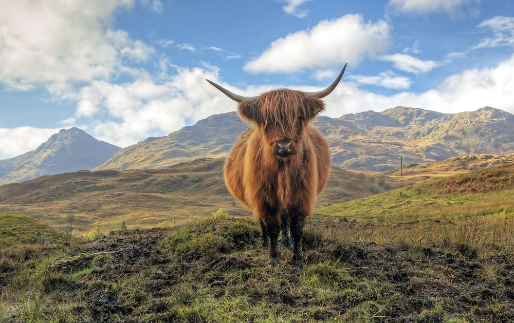 Image of highland cow in field with mountains in the background.