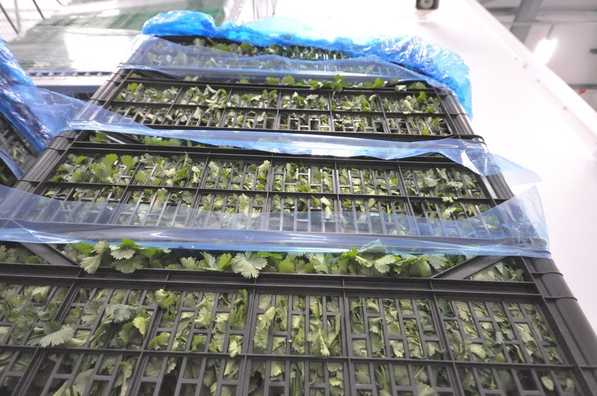 image of fresh herbs ready to be sorted for processing.